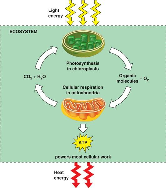 Photosynthesis - overview Overall purpose: