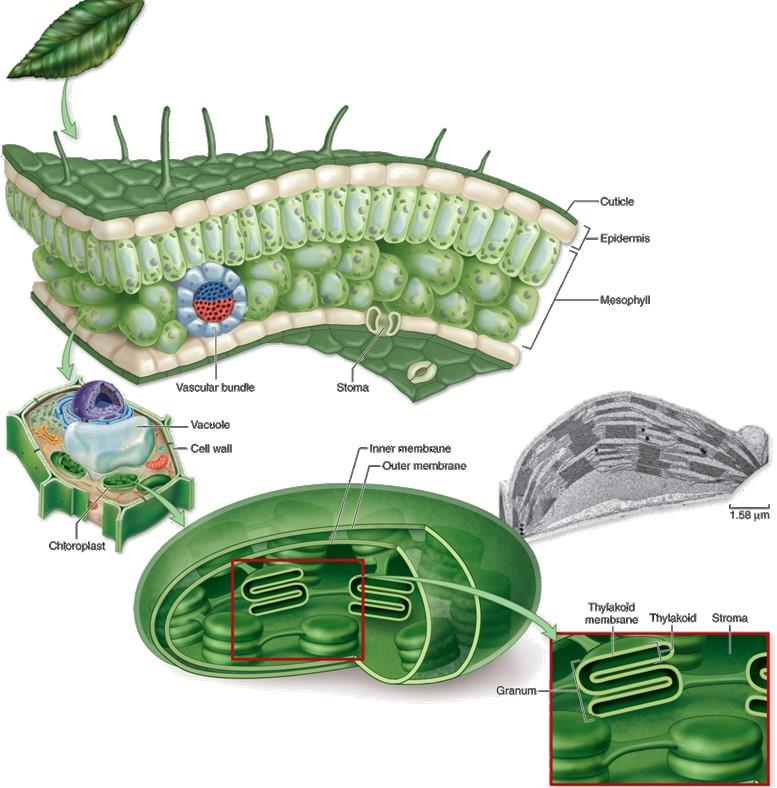 Photosynthesis chloroplast recap Outer membrane Inner