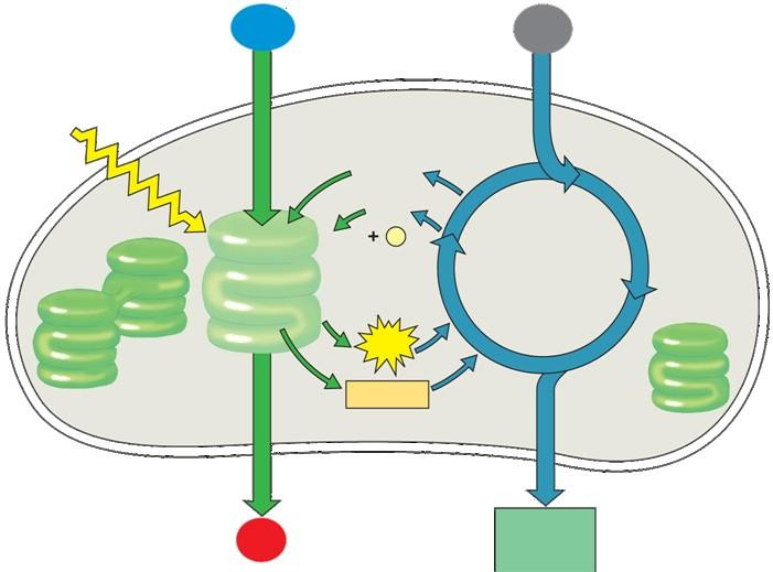 light reactions: thylakoid membrane thylakoid space Photosynthesis - overview H 2 O CO 2 dark