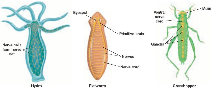 Section 2 Animal Body Systems Tissues and Organs, continued Conduction of Nerve Impulses The