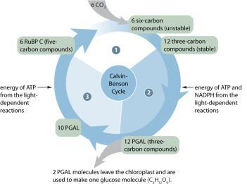 Photosynthesis: Part 2 The Calvin cycle (Light Independent Reactions) This LIGHT INDEPENDENT
