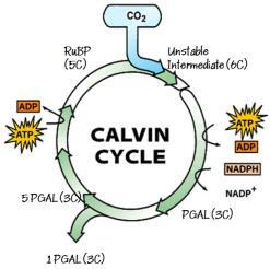 ) and some WATER VAPOUR Note: PGAL also called G3P PGAL (3C) 45 46 Calvin Cycle Each turn of the