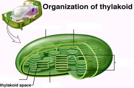 organelles called CHLOROPLASTS yep they re green!