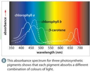 The Absorption Spectrum of Chlorophyll a and Chlorophyll b a