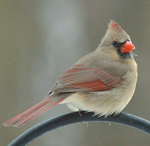 The feathers of male cardinals are
