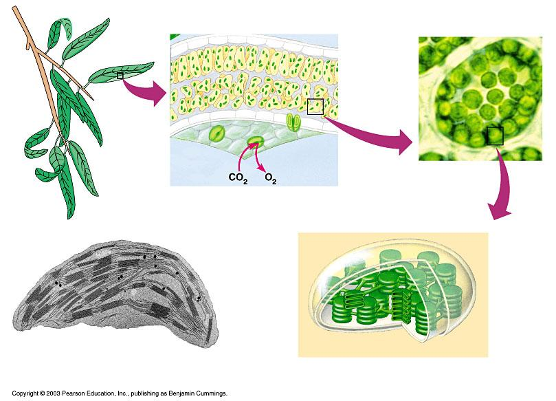 The location and structure of chloroplasts Chloroplast LEAF LEAF CROSS SECTION MESOPHYLL CELL Mesophyll