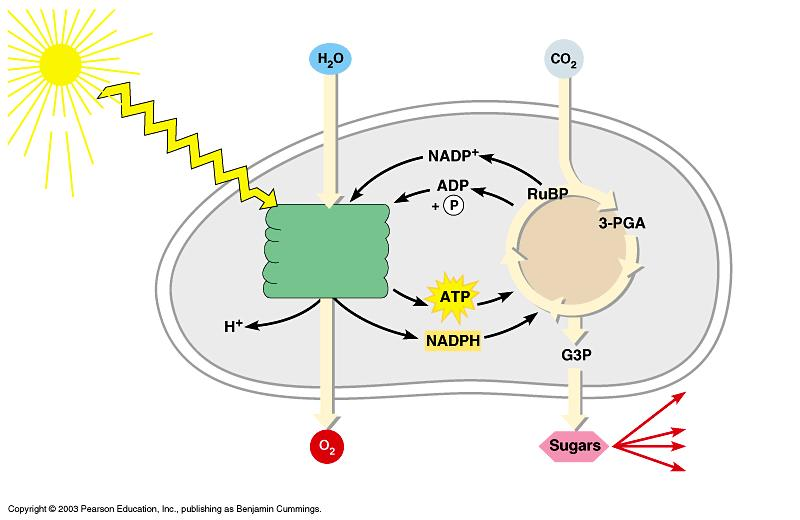 Review: Photosynthesis uses light energy to make food molecules A summary of the chemical processes of photosynthesis Light Photosystem II Electron