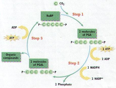 Calvin Cycle Location- Purpose- Input Output