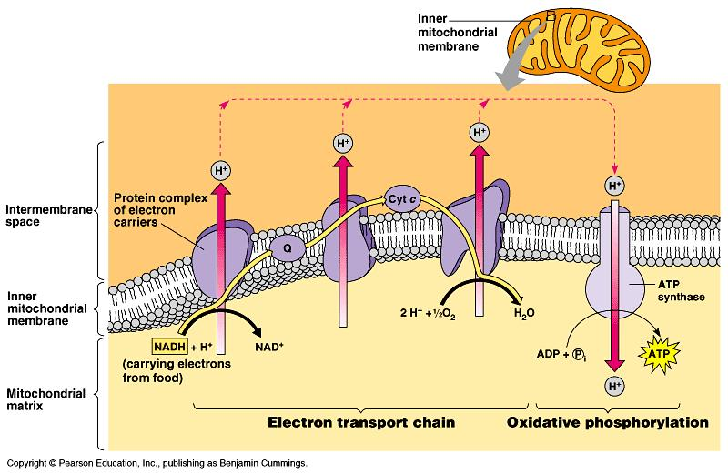 Cellular Respiration Electron Transport Chain Process that uses high energy electrons