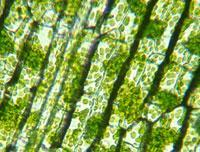 Chloroplasts Contains chlorophyll Uses carbon dioxide, water and light