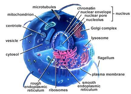 Organelles Little organs Specialized,
