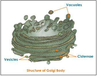 Organelles Cell