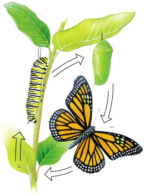 metamorphosis a type of insect and animal life cycle that has extreme changes from one stage to the next; the stages for insects include egg, larvae, pupa, and adult The image cannot be displayed.
