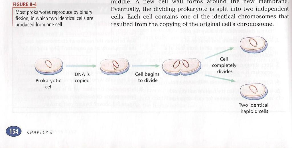 CELL DIVISION PROKARYOTES HAVE A CIRCULAR CHROMOSOME WHICH IS COPIED