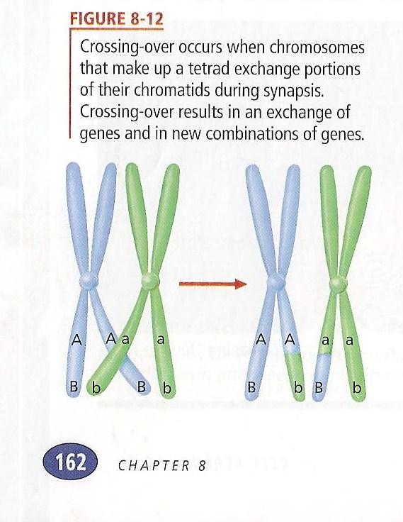 MEIOSIS I PROPHASE I: CHROMOSOMES FORM TETRADS, PAIRS OF HOMOLOGOUS CHROMOSOMES, PAIR UP IN SYNAPSIS.