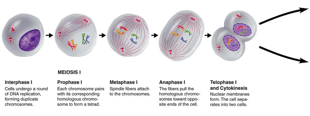 Figure 11-15 Meiosis Section