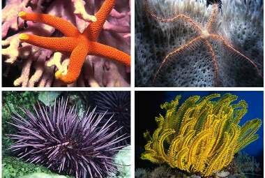 Invertebrate: Echinodermata Starfish,
