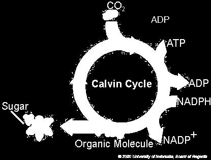 CALVIN CYCLE (OCCURS IN THE STROMA) Calvin Cycle: Series of steps that build up compounds using carbon dioxide from the air. 1.