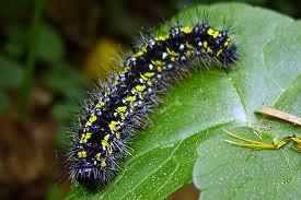 It is called a larva for some insects, and a caterpillar for butterflies and moths.