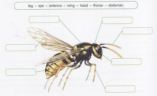5.- Look and label the wasp. 6.- Complete your bilingual dictionary. - Invertebrate: -Shell: - Exoskeleton.