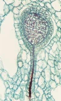 sporangia; multicellular gametangia; and apical meristems. This suggests that these traits were absent in the ancestor common to plants and charophytes but instead evolved as derived traits of plants.