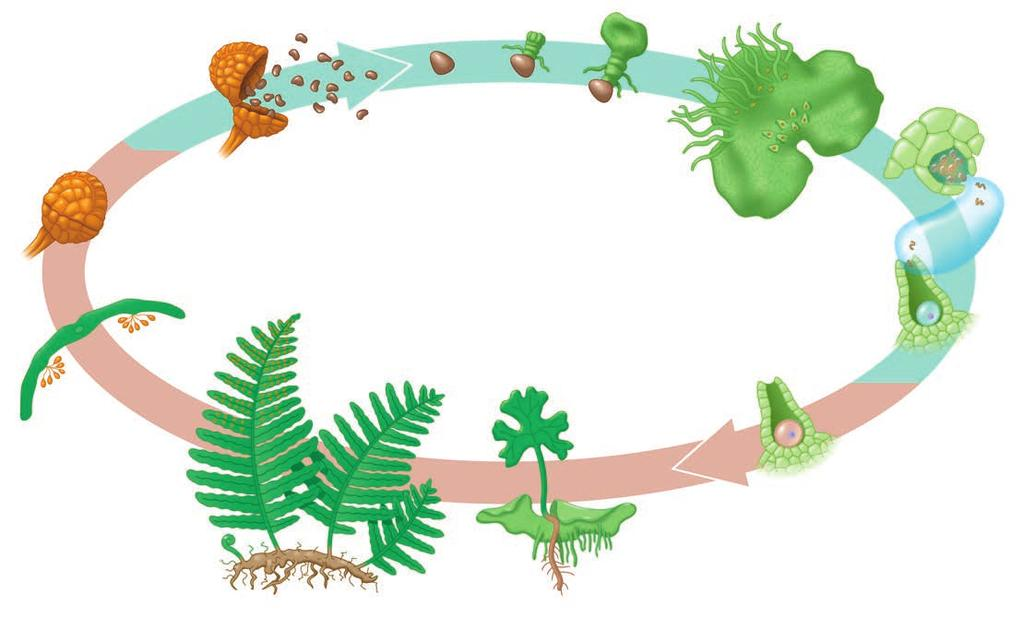 transport in vascular tissues called xylem and phloem, and well-developed roots and leaves, including spore-bearing leaves called sporophylls.