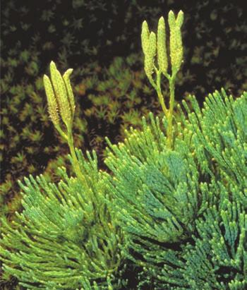 In many club mosses and spike mosses, sporophylls are clustered into clubshaped cones (strobili).