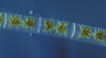 Various species of unicellular chlorophytes live independently in aquatic habitats as phytoplankton or inhabit damp soil.