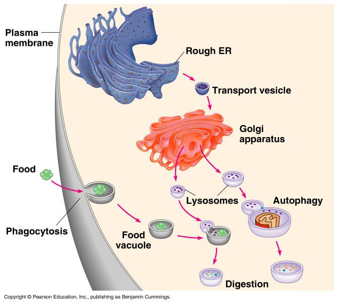 Lysosomes Membrane bounded vesicles contributing to digestive activity Contain hydrolytic enzymes which catalyze breakdown of carbohydrates,proteins, lipids and