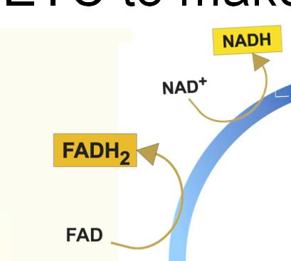 ATP, 8 NADH, 2 FADH 2 and 1