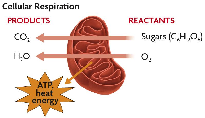 Respiration The reactants in