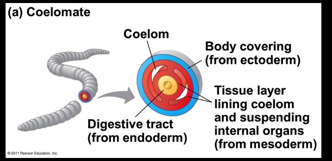 v Coelomates Possess a true coelom Derived from mesoderm Enveloped by mesentery