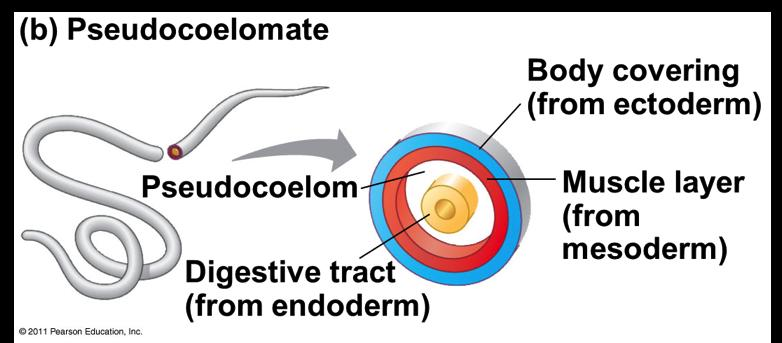 animals that lack a body cavity are called acoelomates Development v Protostome