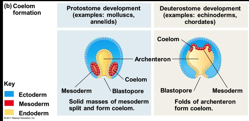 Coelom Formation v In protostome development, the splitting of solid masses of mesoderm forms the coelom v In deuterostome development, the