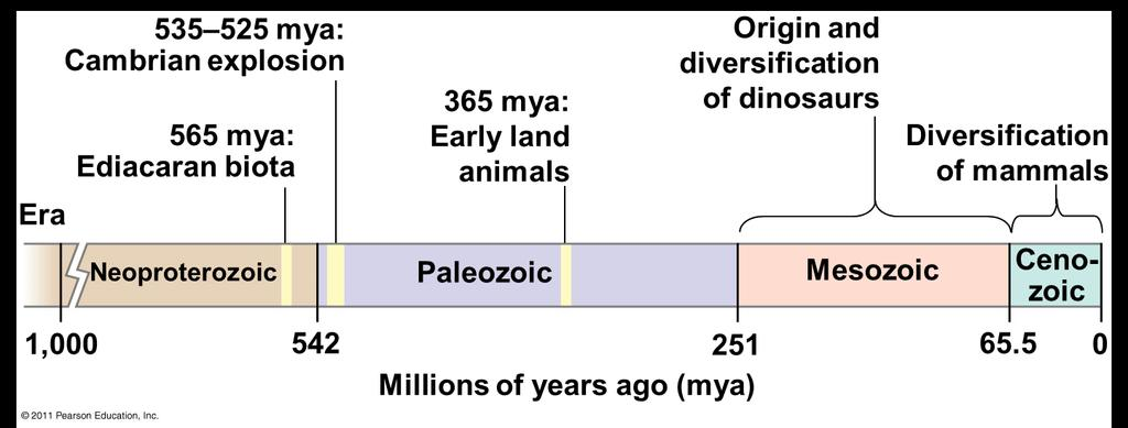 History of animals spans > half a billion years v Includes a great diversity of living species, even greater diversity of extinct ones v Common ancestor of living animals may have lived between 675