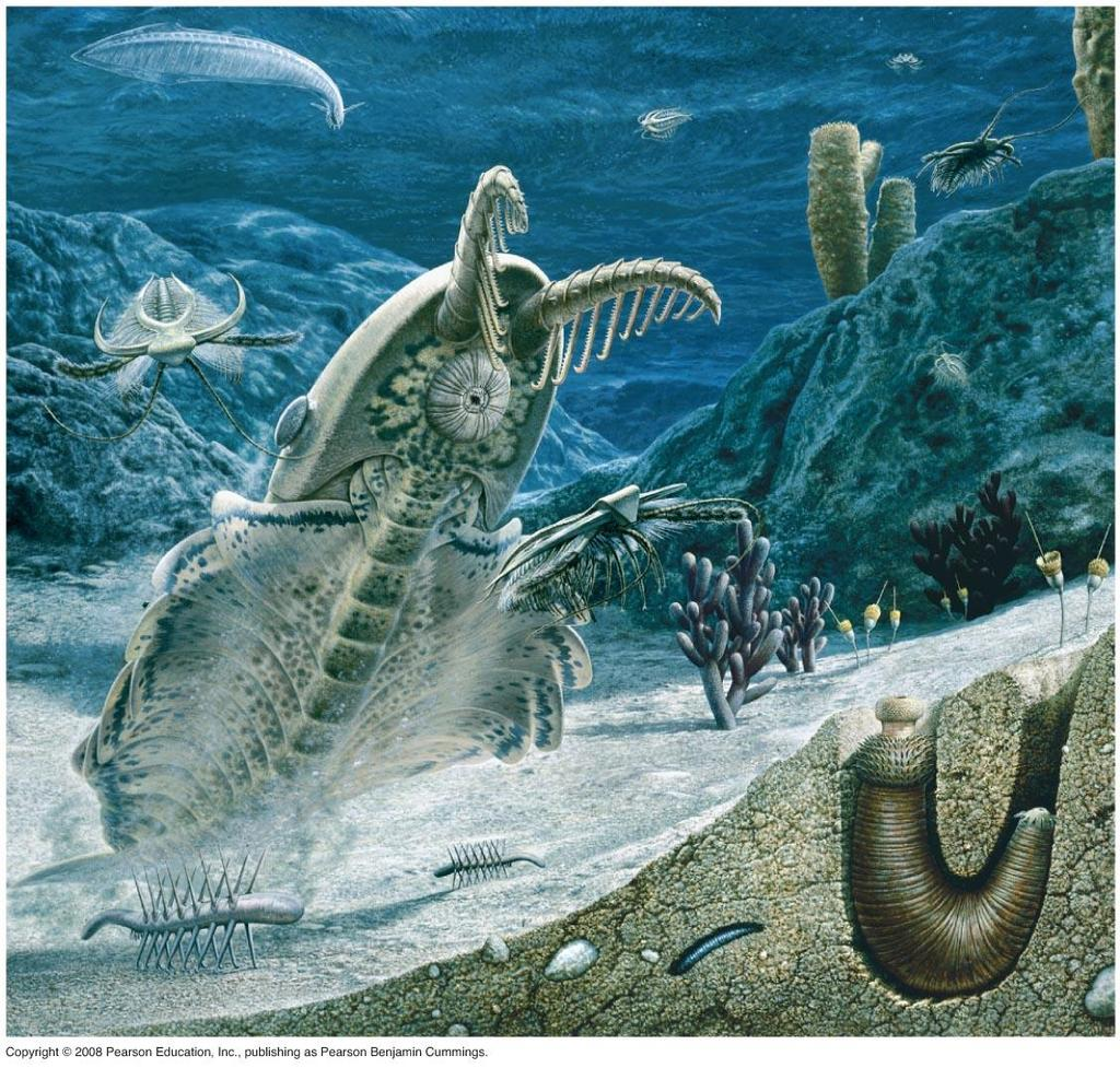 Brief Animal History 10 565-550 mya - First fossils 535-525 mya - Cambrian explosion Large