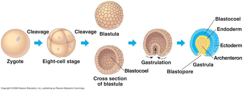 Embryonic Development Blastula Hollow ball of cells that marks the end of the cleavage stage Gastrulation Blastula