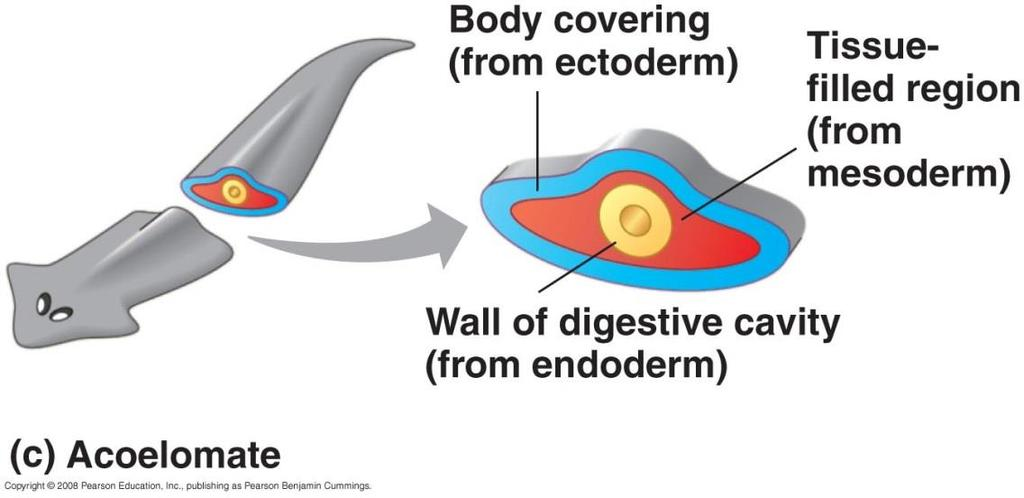 Evolution of body cavities 19