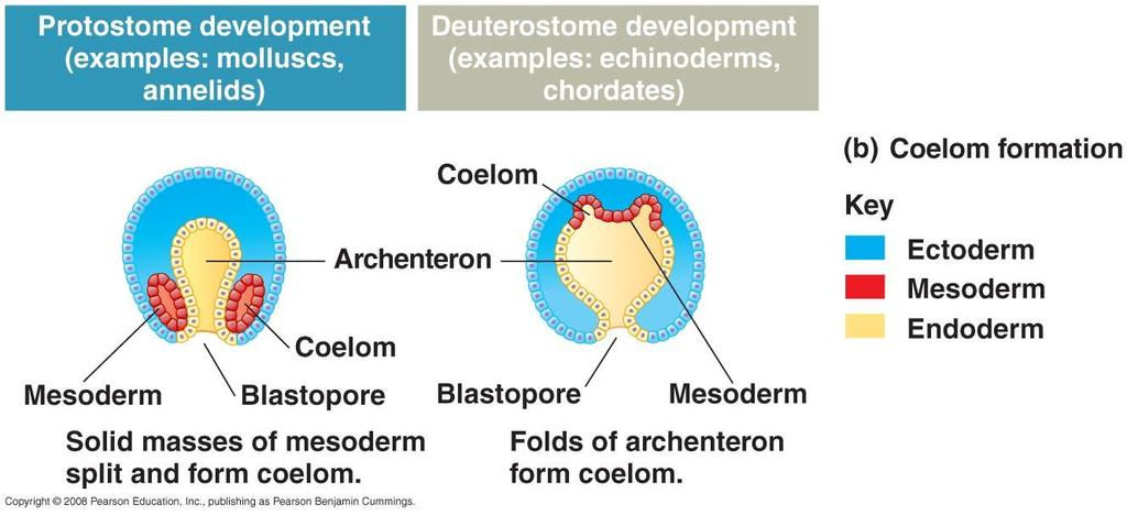 Protostome Vs.