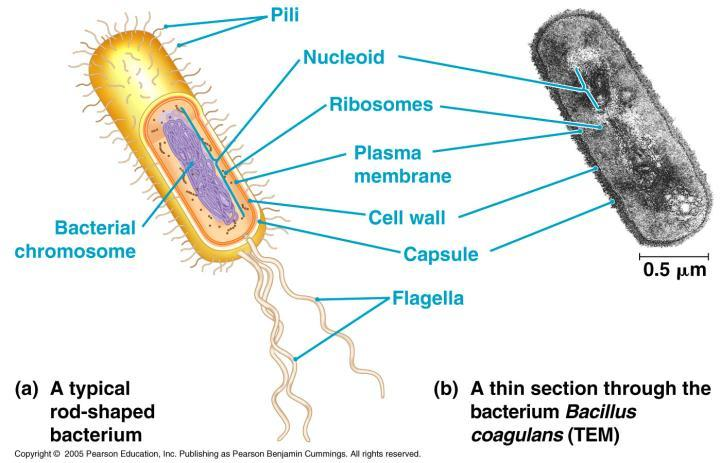 Prokaryotes No nucleus Nucleoid region Simple No membrane bound organelles