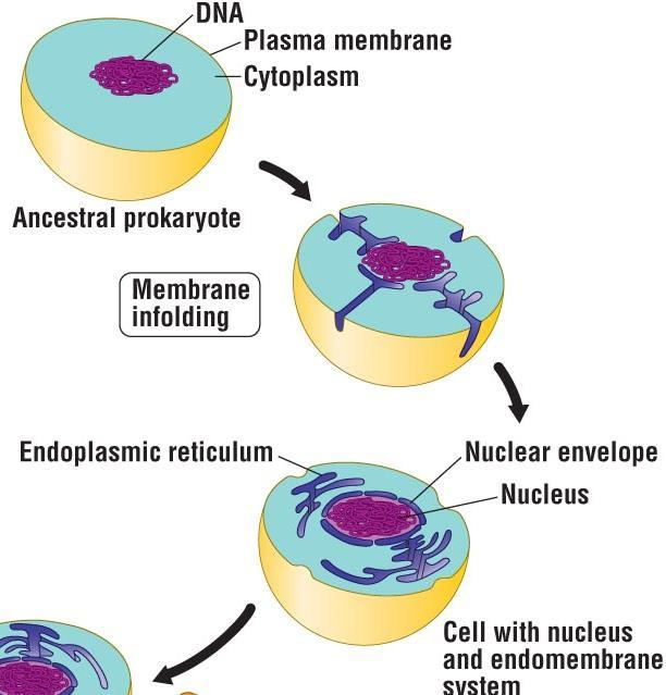 The Origin of Eukaryotic Cells 3 Evolution of the