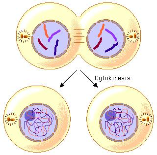 6:7 Cytokinesis CYTOKINESIS: the division of the parent cell s cytoplasm into two daughter cells.