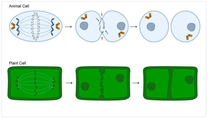 Cytoplasm from original parent cell splits to form two new cells.