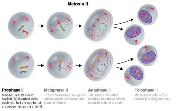 separate and move toward opposite poles of the cells o Telophase II and Cytokinesis II Nuclear