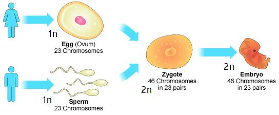 Steps of Sexual Reproduction 1. Organisms produce GAMETES: haploid sex cells. Female gametes are eggs, male gametes are sperm. 2.