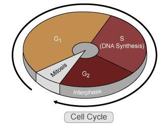 and development that precedes mitosis and follows