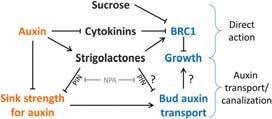 , and Beveridge, C.A. (29). Strigolactone acts downstream of auxin to regulate bud outgrowth in pea and Arabidopsis. Plant Physiol. 15: 482-493.