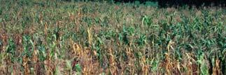 The Plant Cell, ctober 215 215 H H Rice field infested with Striga Intercropping with beneficial plants can reduce Striga infestation Desmodium is a nitrogen-fixing legume that enriches the soil, and