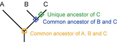 Similarly, each lineage has ancestors that are unique to that lineage and ancestors that are shared with other lineages common ancestors Cladistics Developed by Hennig (German) in 1966 Cladistics: