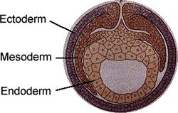 The blastula pinches inward to form three GERM LAYERS Ectoderm: Outermost layer Develops into the sensory organs, nerves, outer layer of skin Mesoderm: Middle layer Develops into the muscles, most of